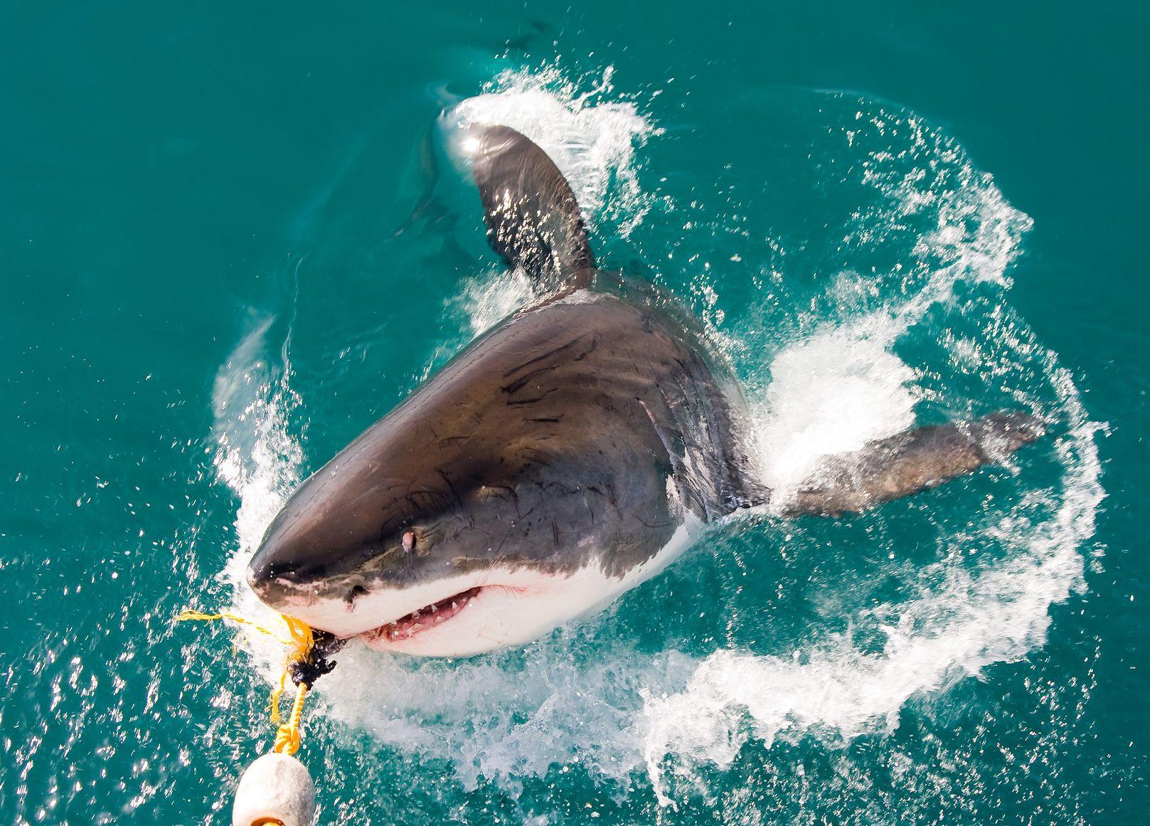 Crazy Shark