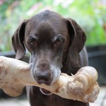 German shorthaired pointer with a giant bone in his mouth