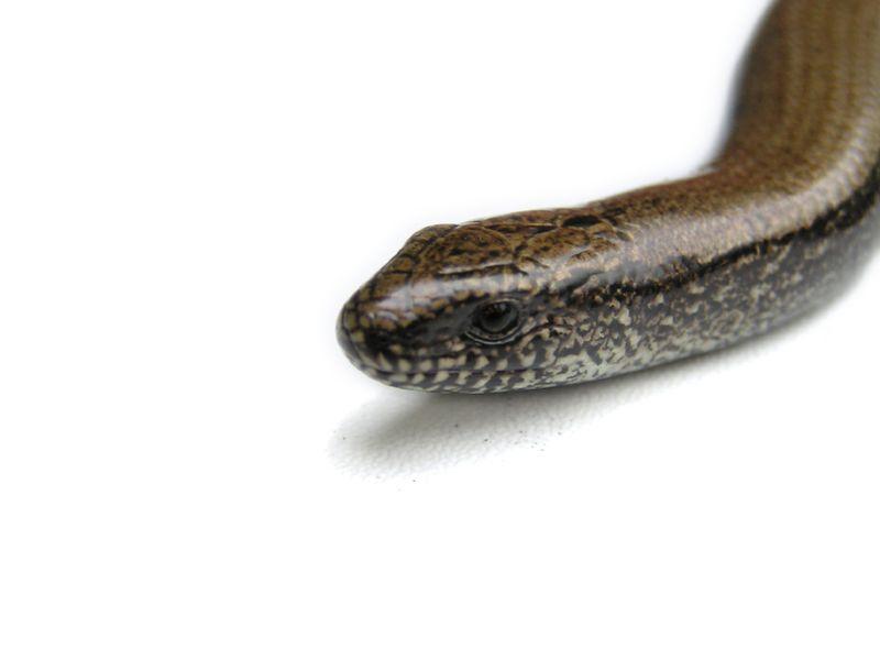 snake33